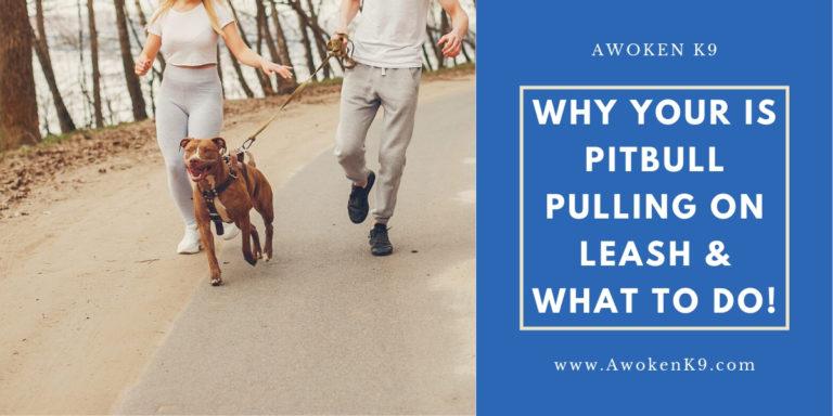 pitbull pulling on leash
